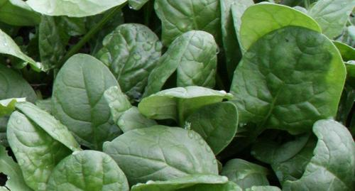 Korean Heirloom Spinach from Min-Hee Gardens
