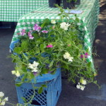 Sweetpea container gardens from Daffodils,Dahlias, Lilies Oh My