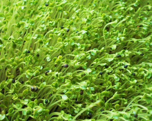 Microgreens are not sprouts